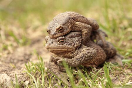 Two ground toads, a smaller male sitting on top of a large female and moving on it on the ground in the spring.