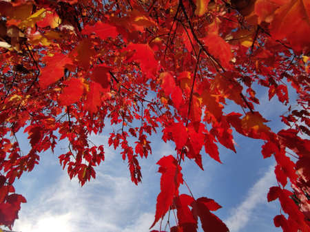 Red foliage of ornamental maple against the blue sky.