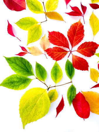 Collection of autumn leaves of different trees on a white background. Фото со стока