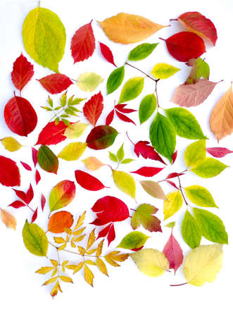 Collection of autumn leaves of different trees on a white background. Zdjęcie Seryjne