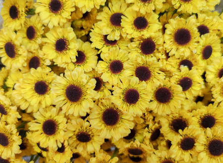 A beautiful background of decorative small daisies of the same color and size.