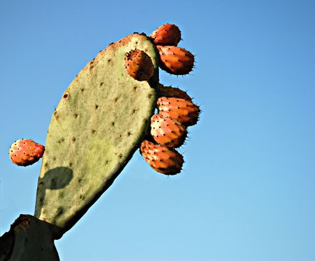 opuntia: Opuntia with fuits