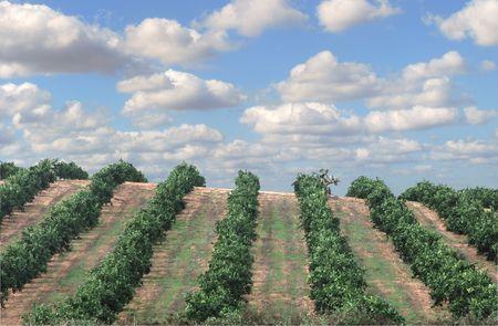 Een boomgaard Israël