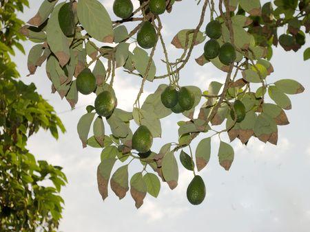 avocado tree photo