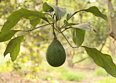 Branch of avocado photo