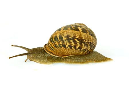 gastropoda: Colse up of Burgundy (Roman) snail isolated on white background Stock Photo