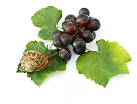 grape snail: Burgundy (Roman) snail on grapevine isolated on white background