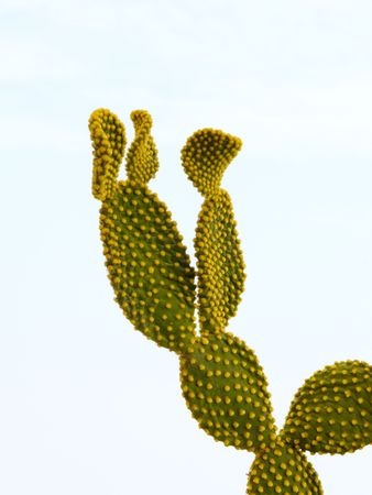 opuntia: Opuntia isolated on background