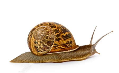 Close up of Burgundy (Roman) snail isolated on white background photo