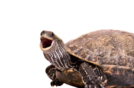 reptilia: Turtle with open mouth isolated on white background