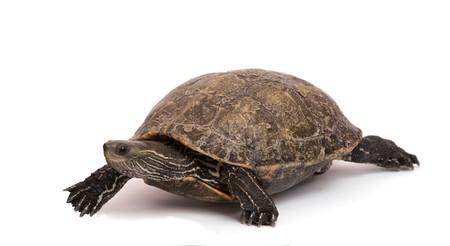 Walking caspian turtle photo