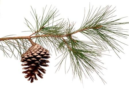 pino: Rama de pino con conos aislados sobre fondo blanco