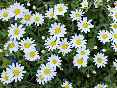 Field of chamomile (scented mayweed) photo