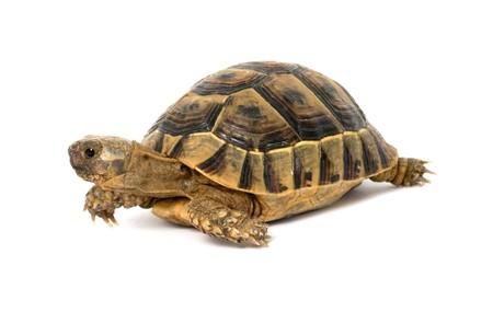Close up of greek tortoise photo
