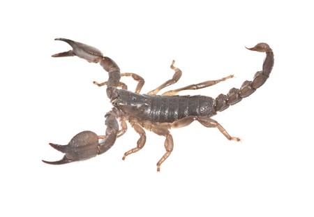 Scorpion closeup Stock Photo - 4550853