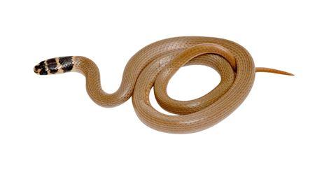 colubridae: Close up of snake (Eirenis modestus)