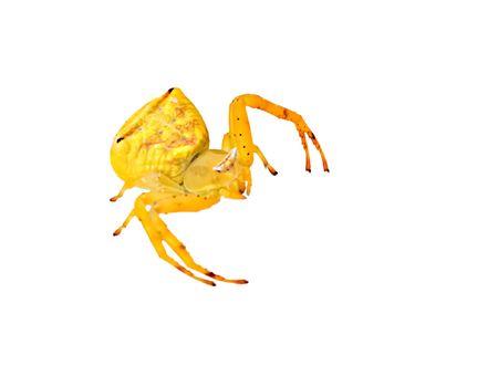 arthropoda: Yellow spider isolated on white background