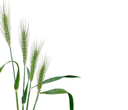 Wheat isolated on white background photo
