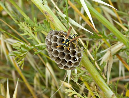 founding: European paper wasp founding new colony at spring