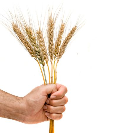 Farmer presenting bunch of wheat as a gift of agriculture photo