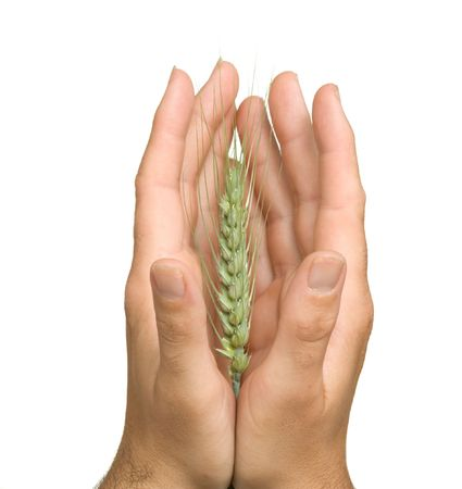 Farmer presenting wheat as a gift of agriculture photo