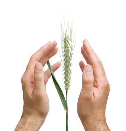 Farmer presnting wheat as a gift of agriculture photo