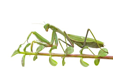 Praying mantis on twig photo