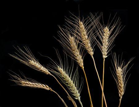 Wheat isolated on black background photo