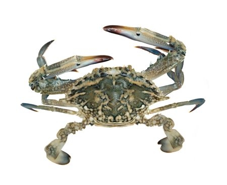 decapod: Close up of blue swimmer crab Stock Photo
