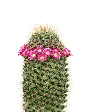 Flowering cactus isolated on white background photo