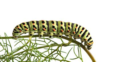 swallowtail: Close up of caterpillar of swallowtail