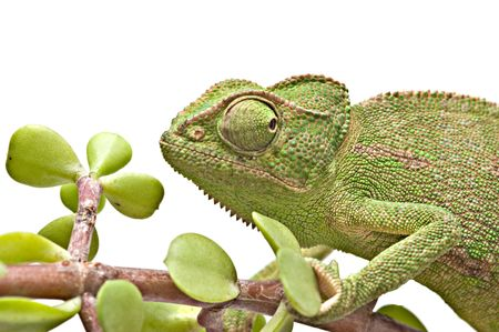 Head of chameleon photo