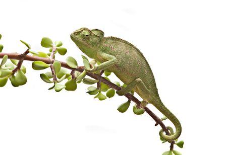 Chameleon on a twig photo