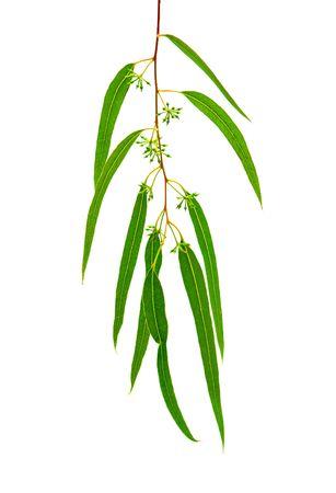 eucalyptus branch isolated on white background photo