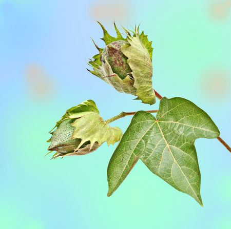 bolls: Close up of cotton plant with bolls