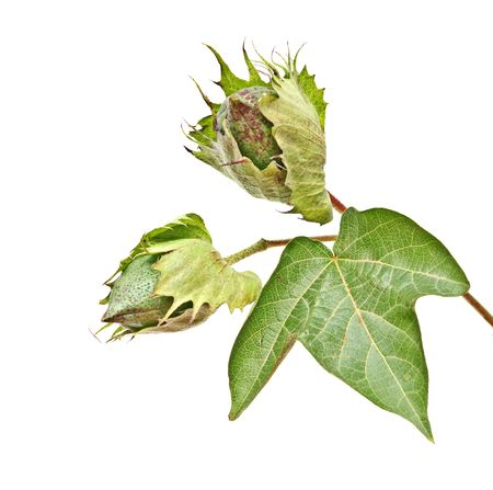 cotton plant: Close up of cotton plant with bolls