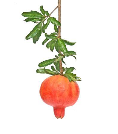 superfruit: Ripe pomegranate on branch isolated on white background