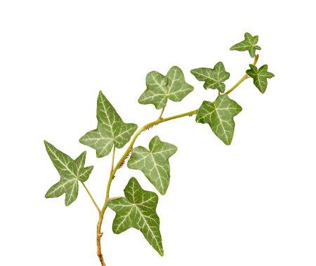 ivy isolated on white background photo