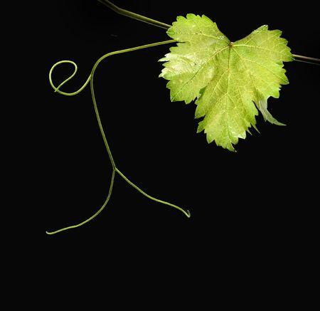 hojas parra: Vid aislado en fondo negro Foto de archivo