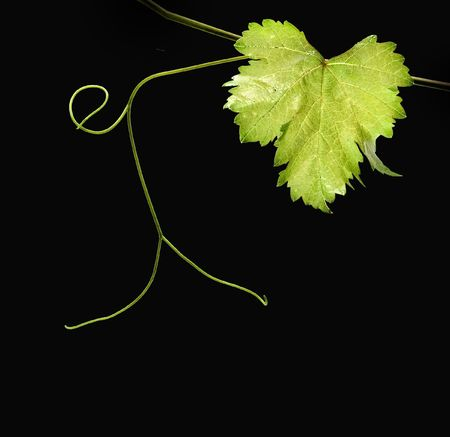 grapes on vine: Vine isolated on black background Stock Photo