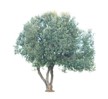 plantando un arbol: Olivo aislado sobre fondo blanco  Foto de archivo
