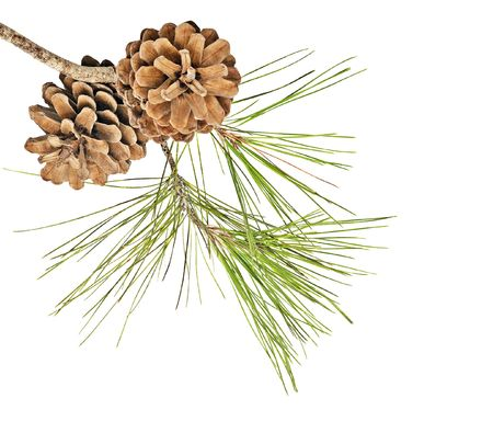 Pine-Zweig mit Kegeln auf weißen Hintergrund isoliert