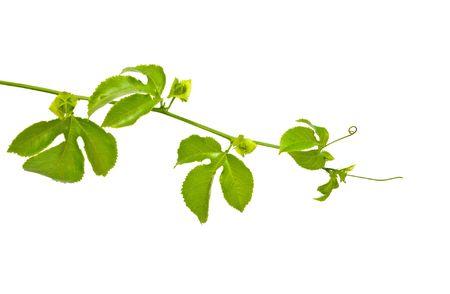 Vine isolated on white background photo