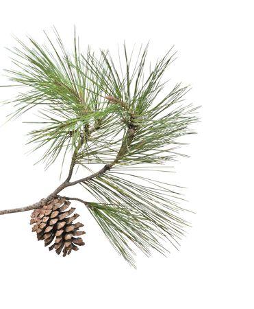 aparato reproductor: Rama de pino con cono aislado sobre fondo blanco