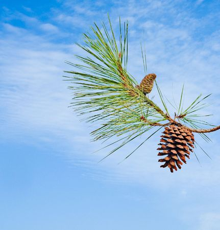 pine needles close up: Pine branch with cone isolated on sky background