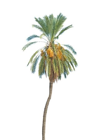 Date palm isolated on white background