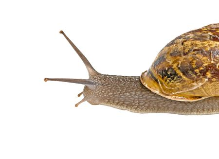 edible snail: Clsoe up of Burgundy (Roman) snail isolated on white background Stock Photo