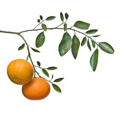 reticulata: Tangerines on branch