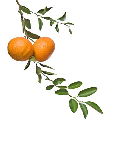 Tangerines on branch Stock Photo - 6219335
