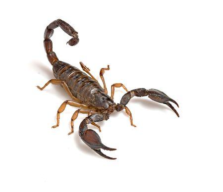 invertebrate: Scorpion isolated on white background Stock Photo
